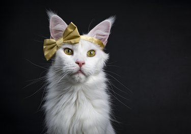Head shot of White Maine Coon girl cat wearing golden bow on head sitting up isolated on black background