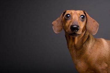 Portrait of Cute Dachshund Dog on Gray Background