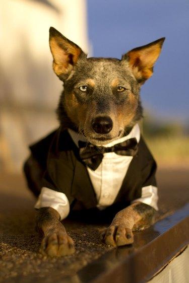 Australian Cattle Dog Mix wearing Tuxedo