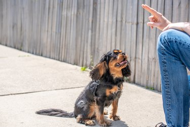 Cute Cavalier King Charles Spaniel in a training session