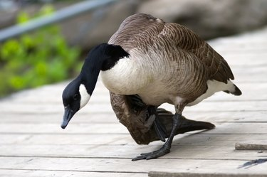 Canadian Goose with Broken Wing