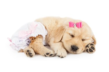 Adorable Baby Golden Retriever Dog