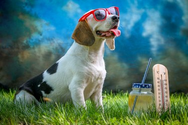 Happy dog lying on grass and feels warm with sunglasses and lemonade, thermometer