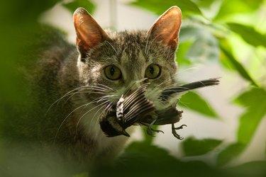 Cat with bird in teeth.