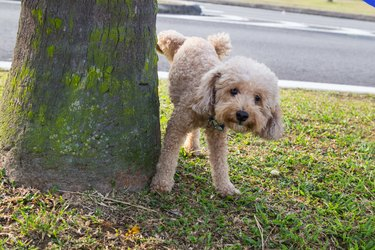 Male poodle urinating pee on tree trunk to mark territory