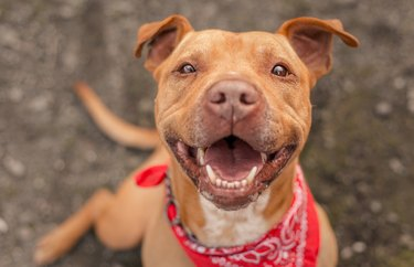 Happy Pit bull dog wearing a red bandana