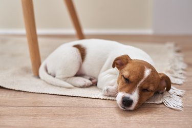 Sleeping jack russel terrier puppy dog on the floor, closeup