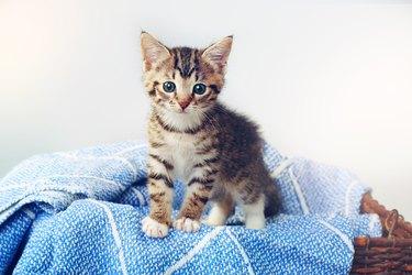 cute kitten on blue blanket on top of basket
