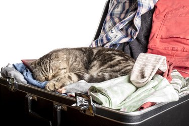 Scottish Fold cat sleeping in a suitcase packed with things