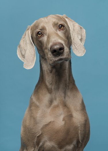 Portrait of a proud weimaraner dog on a blue background
