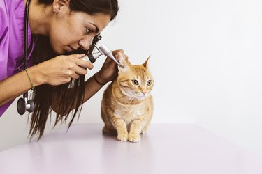 Veterinarian doctor is making a check up of a cute beautiful cat.