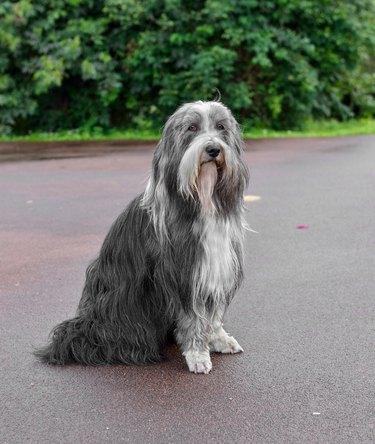 Bearded Collie, or Beardie