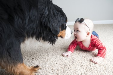 7 month Fraternal Twin Baby is Nose to Nose with a Bernese Mountain Dog