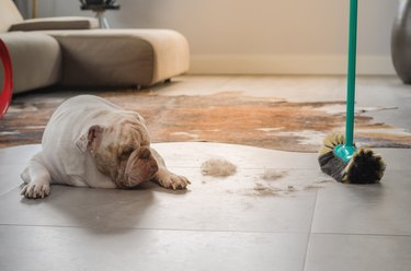 Bulldog dog looking at dirt from the ground