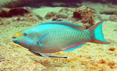 Parrot Fish 1