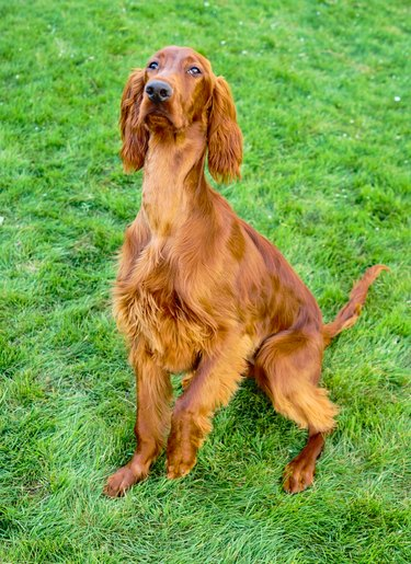 Young Purebred Irish Setter Puppy Canine Dog Begging