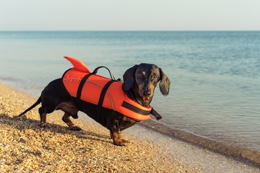 dachshund in a life jacket at the beach