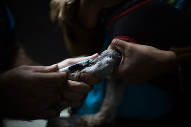 A veterinarian draws blood from a dog at an animal healthcare center