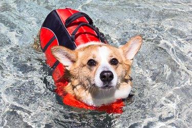 Welsh Corgi swimming with life jacket on