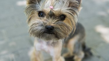 Close up funny puppy Yorkshire Terrier in the on a sidewalk in a park looking in a camera.