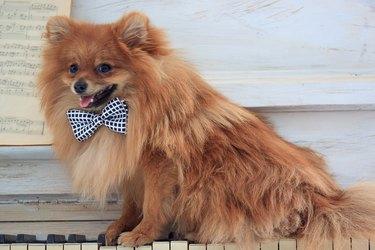 Beautiful pomeranian puppy sits on a old pianoforte.