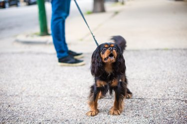 Cavalier King Charles Spaniel out for a walk, barking