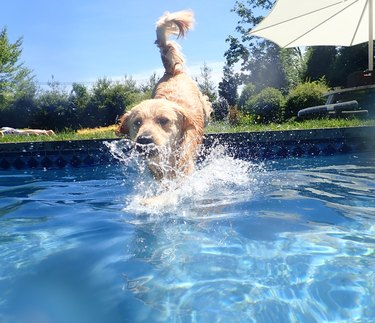 Golden retriever jumping into pool 6