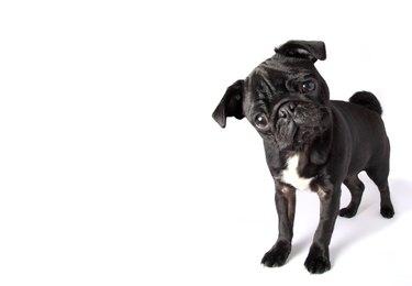 Black Pug full body portrait