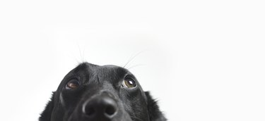 black dog looking up and to the right