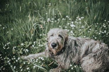Beautiful One Year old Irish Wolfhound