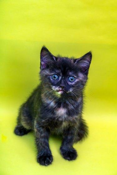 Newborn, Three Colors Scottish Straight Female Kitten