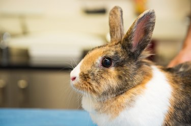 Rabbit at the veterinarian