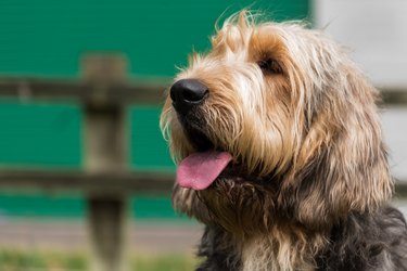 Otterhound looking to the left