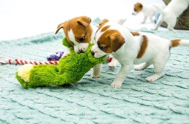 Little Jack Russell Terrier puppies