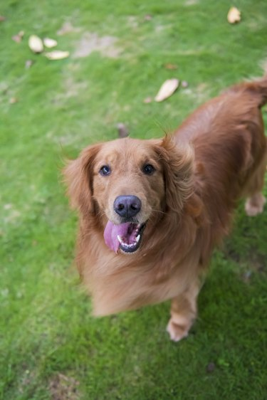 Cute Golden Retriever dogs play in Park Meadows