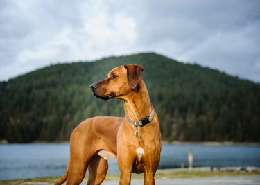 Dog Looking Away While Standing By Lake Against Mountain