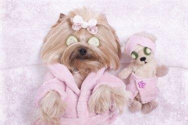 Yorkie Dog and Teddy Bear Friend at the Beauty  Salon