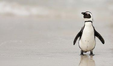 Penguin African avian aquatic bird Boulders Beach flippers ocean shore
