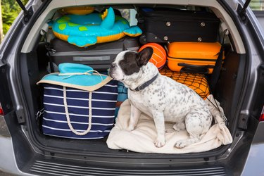 French bulldog sit in the car trunk with luggage ready to go