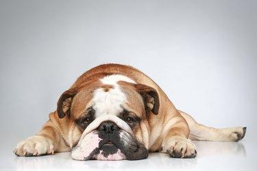 English bulldog lying on a grey background