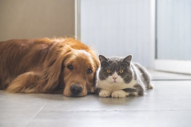 British shorthair and golden retriever, indoor shot