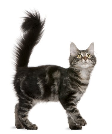 All Cats Communicate With These Six Tail Movements, Here's What They Mean