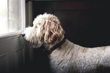 Golden doodle dog waiting  to go outside In front of a closed door