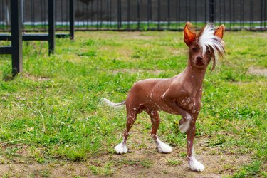 Dog breed Chinese Crested