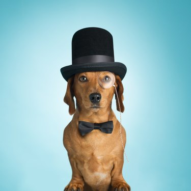 Dachshund wearing top hat and monacle