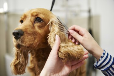 Hands of female groomer combing cocker spaniels ear at dog grooming salon