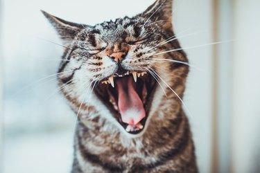 Striped tabby cat giving a big yawn