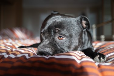 Portrait of a Staffordshire Bull Terrier dog lying on a bed with the morning sun on his face as he opens his eyes. He has a slighlty sad expression.