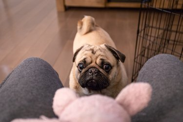pug staring at toy
