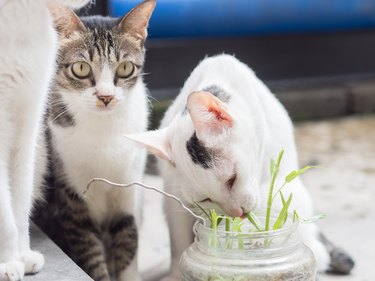 Two Cats Eating Grass